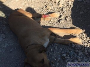 verletzter Kettenhund