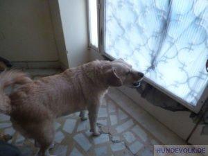 Klingelhund
