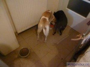 Zwei Hunde fressen aus einem Napf