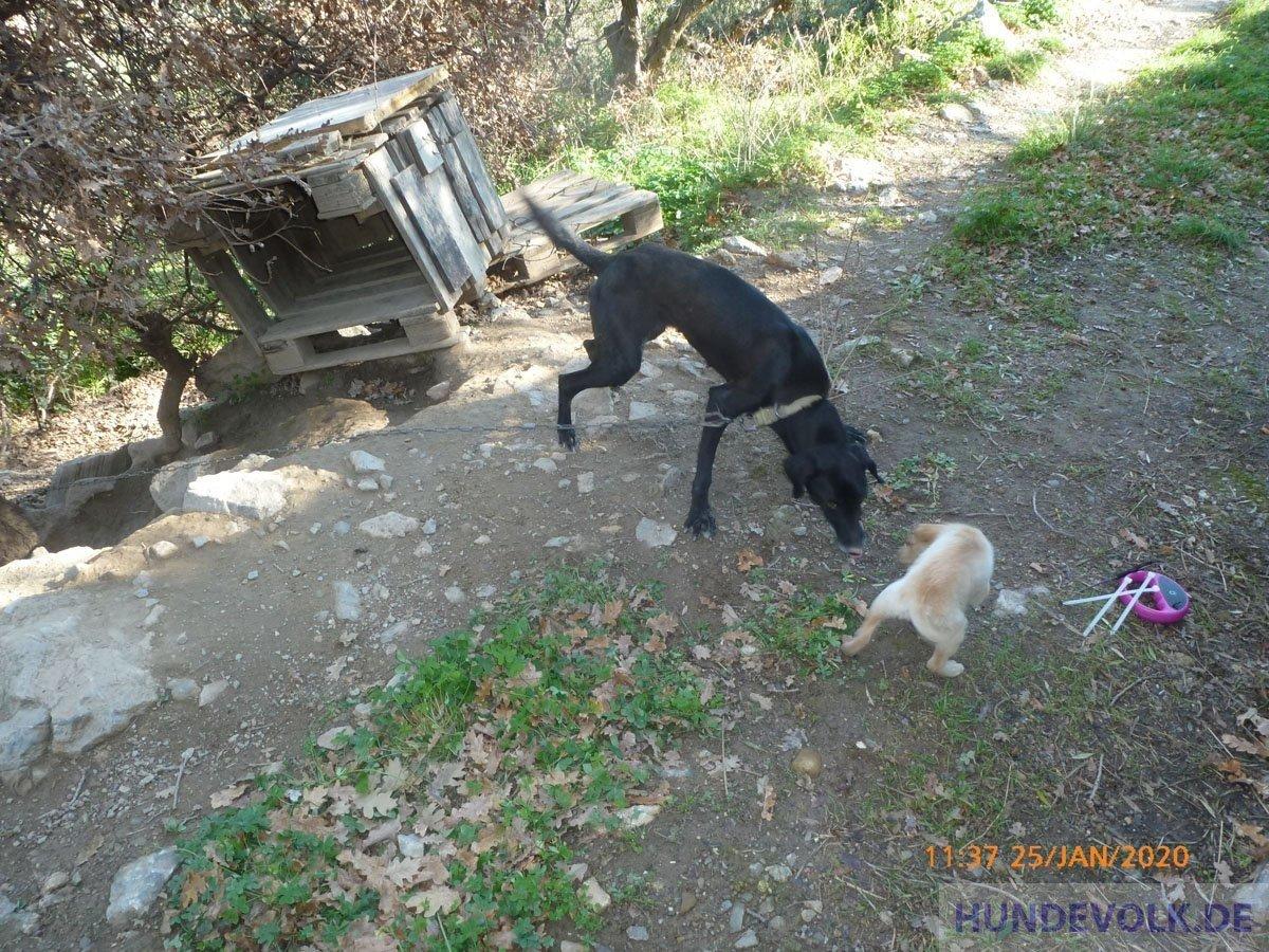 Hunde in den Bergen über Neapoli